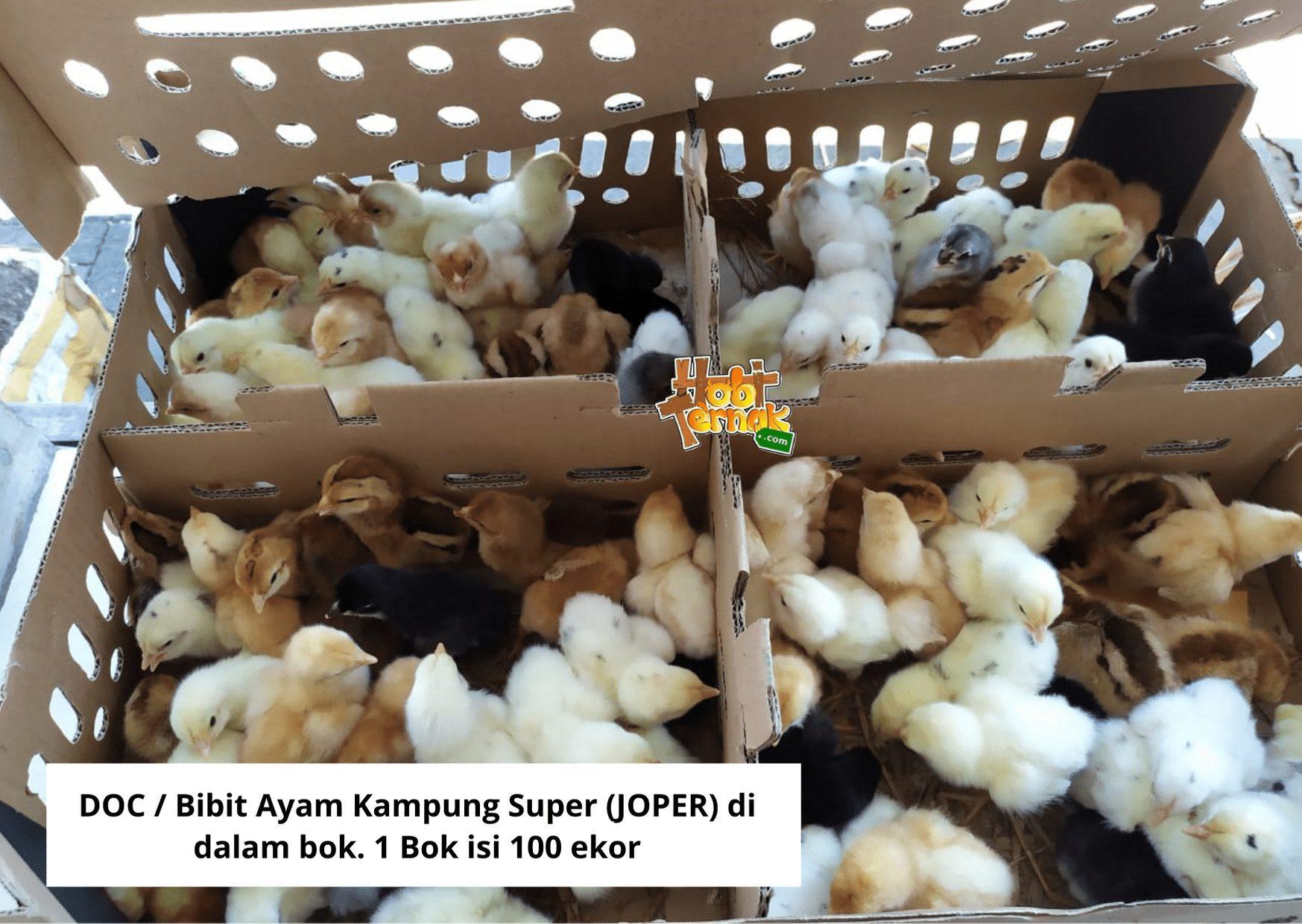 Asal usul ayam joper ini memang di desain untuk menjadi solusi peternak ayam kampung asli yang harus menunggu 3 bulan lebih untuk memanennya. Dengan masa panen yang hanya membutuhkan waktu 60 hari, tentunya perputaran modal bisa lebih cepat.