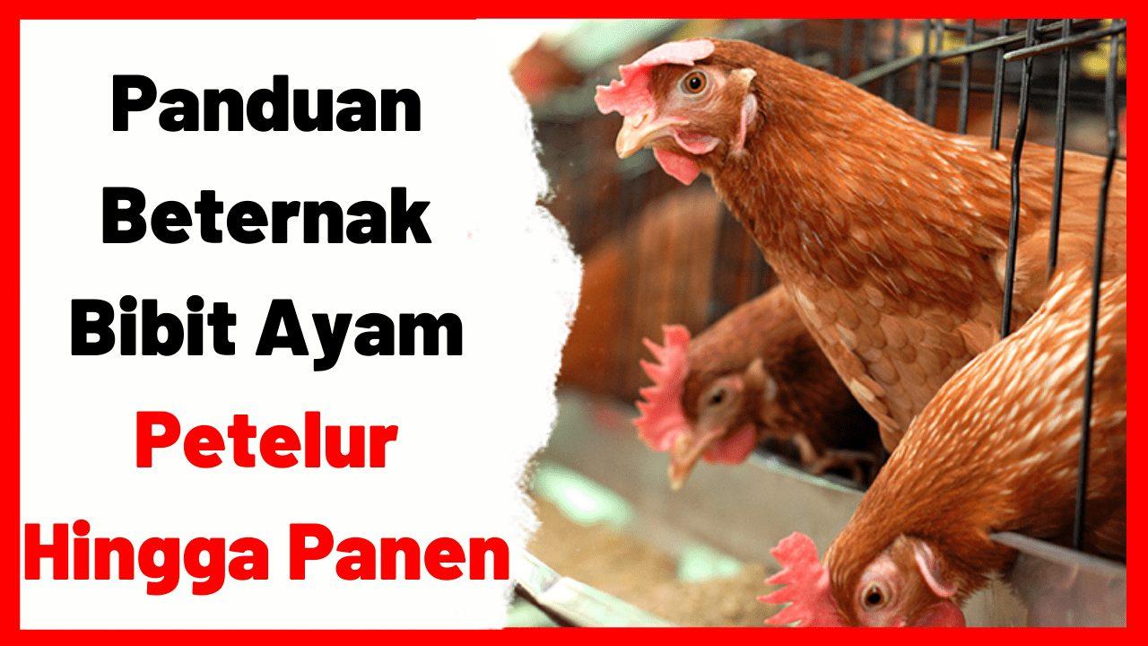 Panduan Beternak Bibit Ayam Petelur Hingga Panen | cover