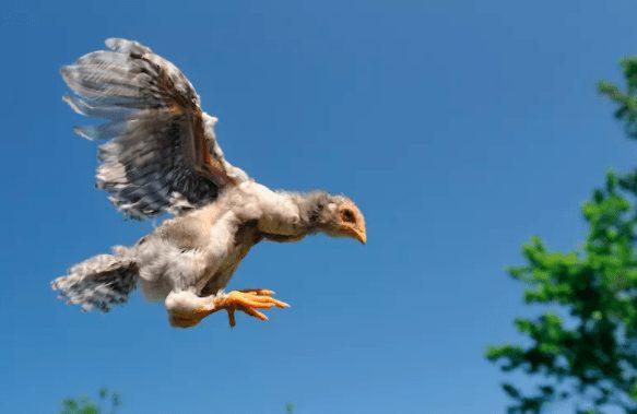 Ayam meloncat ke tempat yang lebih tinggi menggunakan sayap yang dimilikinya, meskipun tidak terlalu tinggi | Image 1