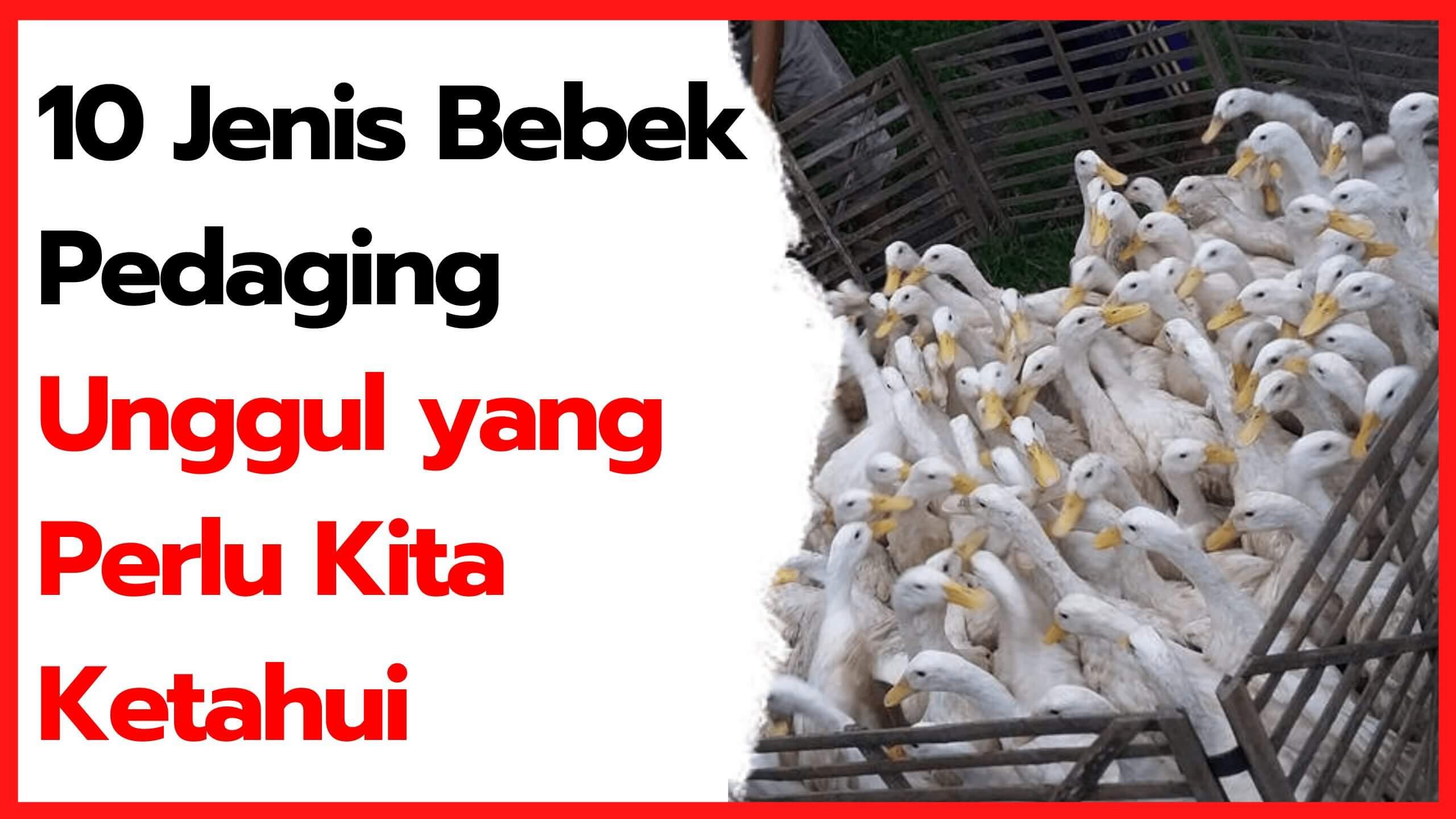 10 Jenis Bebek Pedaging Unggul yang Perlu Kita Ketahui