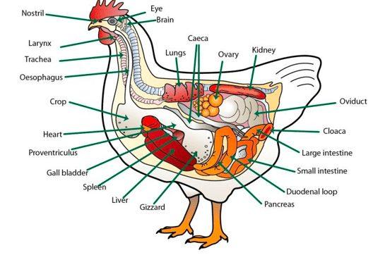 Salah satu penyebab Ayam Kerdil yakni ganguan pencernaan dalam usus ayam | image 2