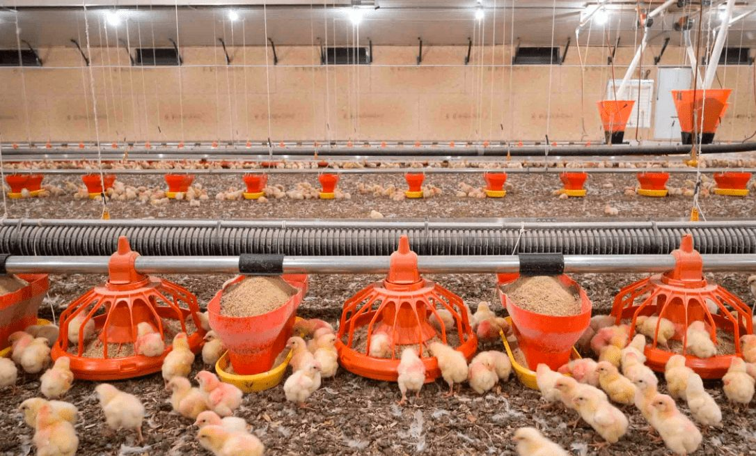Pemeliharaan ayam agar tetap sehat hingga masa panen perlu manajemen pakan yang sesuai standar | image 3