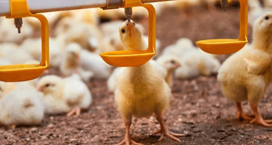 Air yang dikonsumsi oleh hewan ternak menentukan sehat tidaknya ayam tersebut nantinya | Image 1