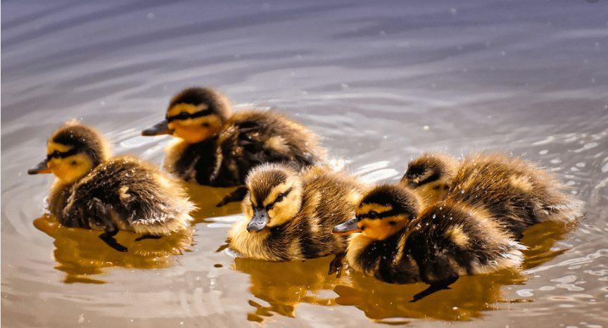 Bebek Petelur menjadi salah satu jenis bebek yang saat ini cukup potensial untuk diternakan sebagai bebek peghasil telur