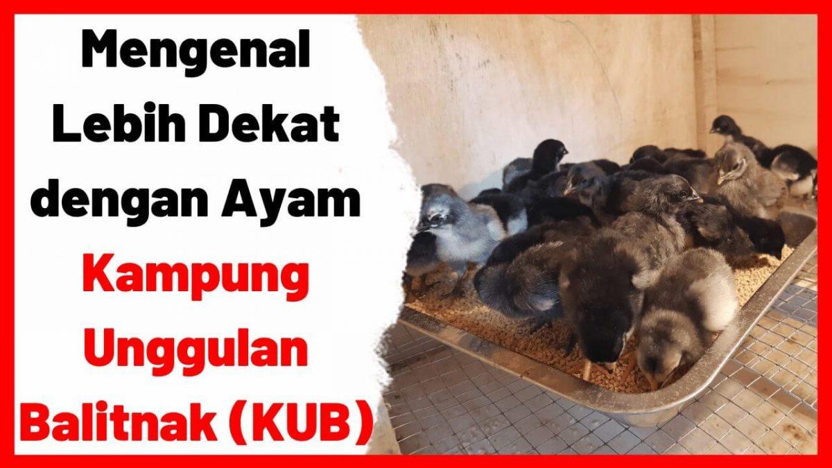 Mengenal Lebih Dekat dengan Ayam Kampung Unggulan Balitnak (KUB)   cover