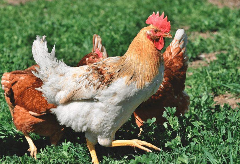 Pernapasan memiliki peran penting bagi kehidupan ayam I Image 1