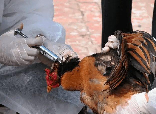 Proses vaksinasi ayam dengan metode suntik dibagian leher | Image 2