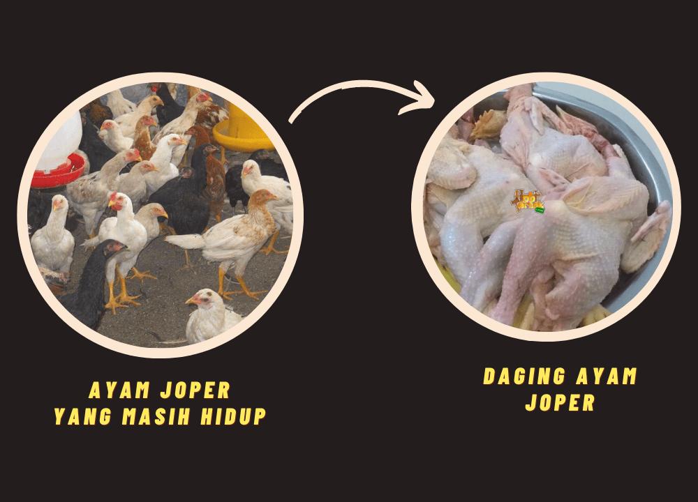 Ini adalah bentuk daging ayam joper setelah di potong dan dibersihkan bulu-bulunya | Image 2