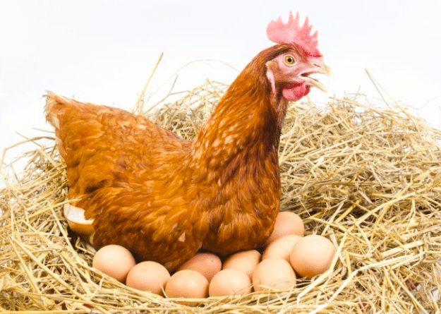 Ada beberapa jenis ayam produksi yang bisa bertelur tanpa adanya ayam yang berjenis kelami jantan | Image 1