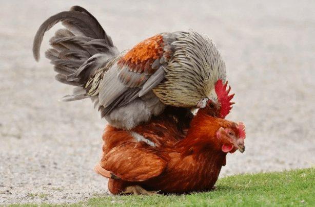 Ini adalah contoh perkawinan ayam secara alami | Image 2