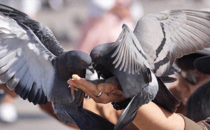 Burung merpati yang terlihat lahap makan biji-bijian di atas tangan orang yang memberikannya. | Image 1