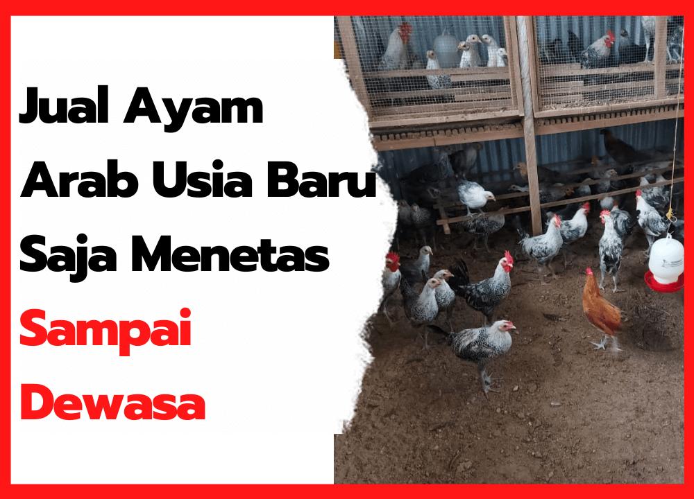 Jual Ayam Arab Usia Baru Saja Menetas sampai Dewasa | cover