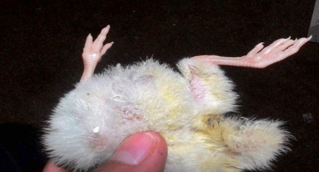 Kaki kering pada DOC ayam disebabkan oleh beberapa faktor dan penyabab   Image 1
