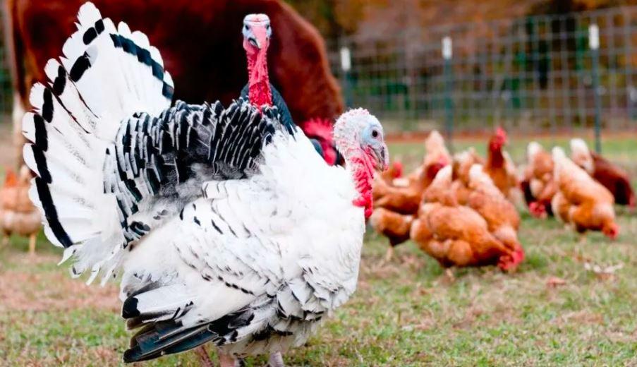 Berbagai jenis ayam kalkun banyak tersedia di hobiternak.com, mulai dari jenis kalkun pedaging dan petelur | image 1