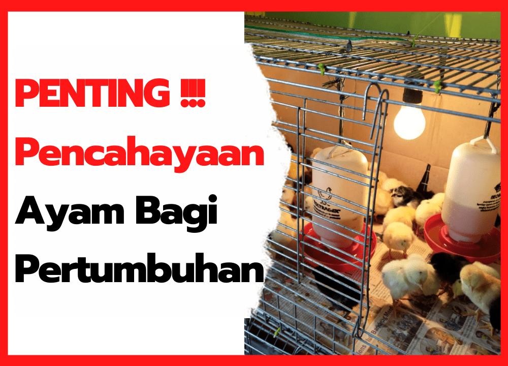 PENTING!!! Pencahayaan Ayam Bagi Pertumbuhan | thumbnail