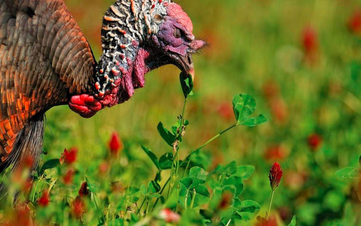 Agar ayam kalkun dapat tumbuh dengan maksimal, maka peternak harus selalu memperhatikan jenis - jenis pakan yang diberikan | image 2