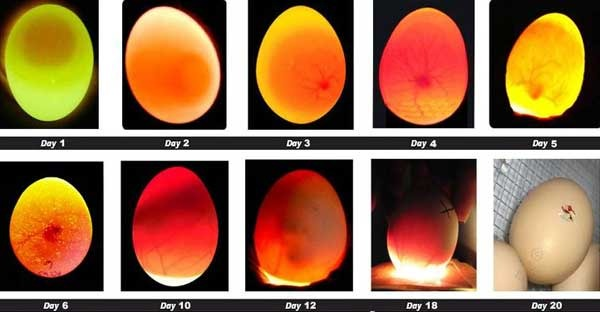 Proses peneropongan telur untuk memperlihatkan apakah ada embrio didalam telur tersebut | Image 3