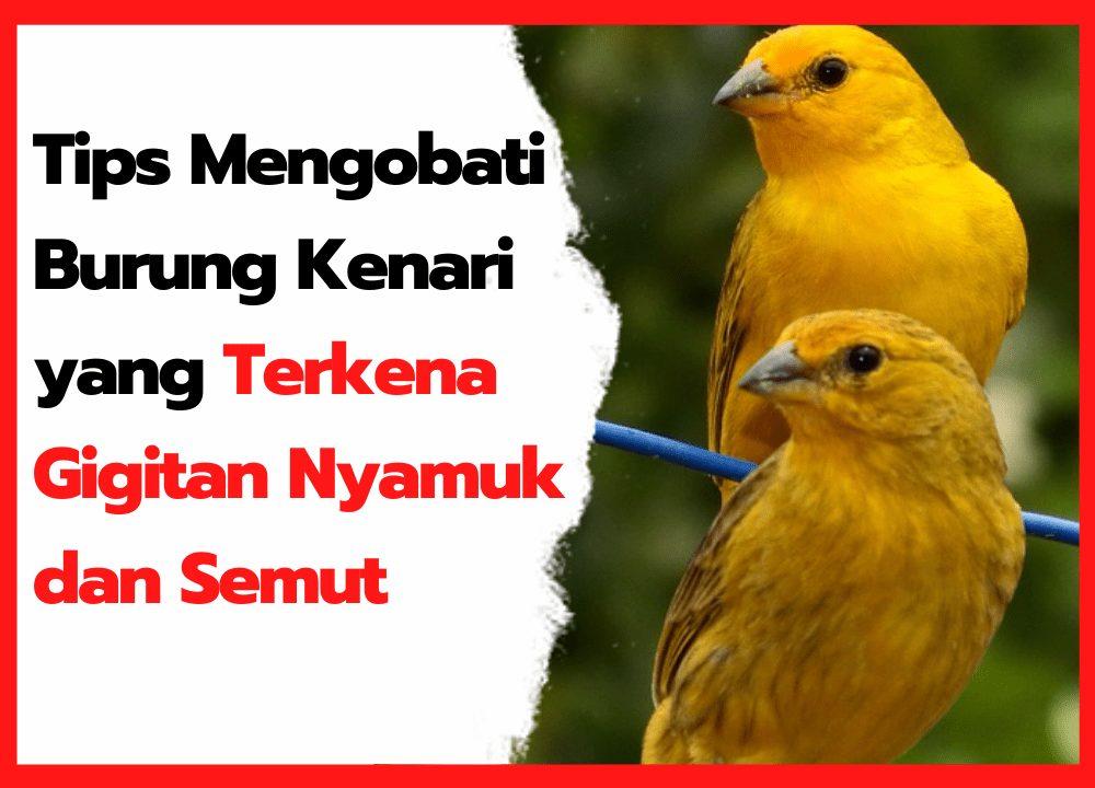 Tips Mengobati Burung Kenari yang Terkena Gigitan Nyamuk dan Semut | cover