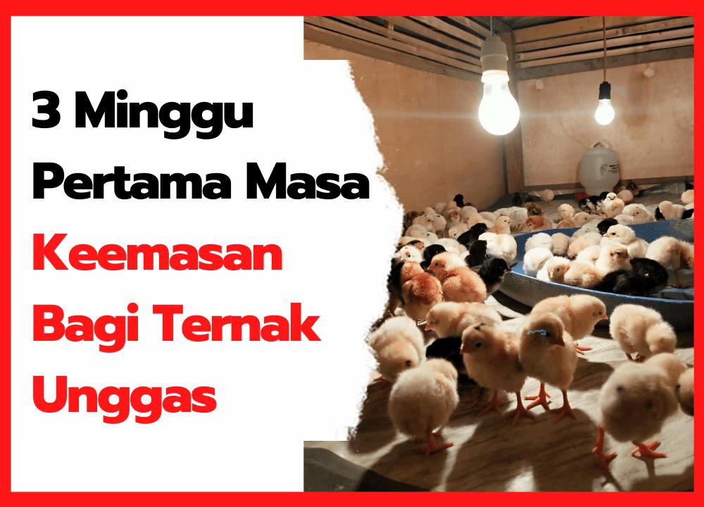 3 Minggu Pertama Masa Keemasan Bagi Ternak Unggas   thumbnail