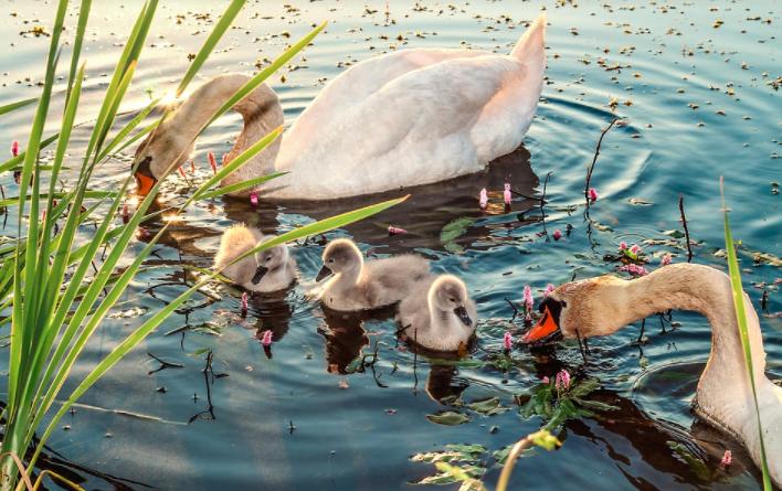 Angsa yang sedang mencari makan di kolam   Image 3