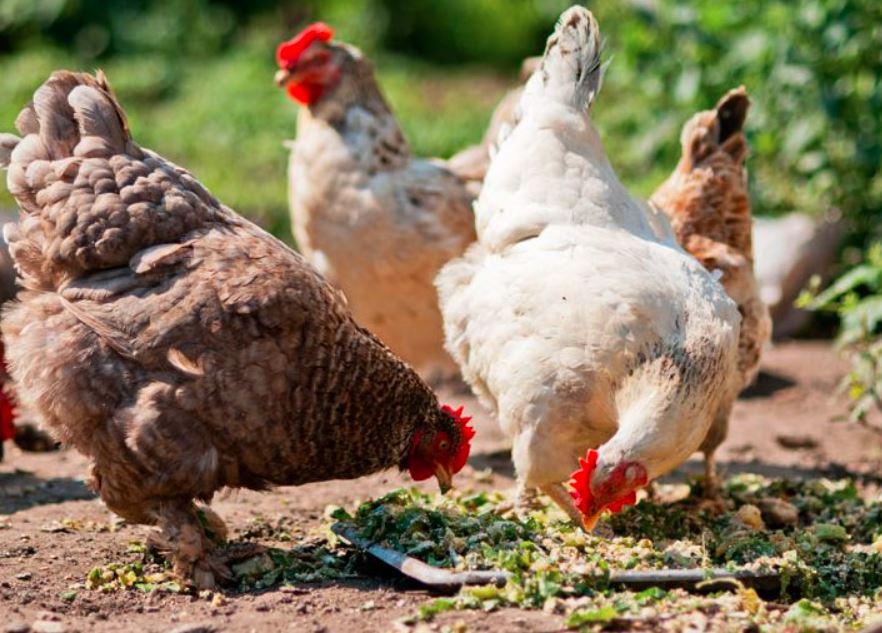 Cara agar ayam selalu dalam keadaan sehat dan terhindari dari penyakit percernaan ayam yakni dengan memperbaiki manajemen kandang terutama pada pemberian pakan yang berkualitas, pemberian vitamin ayam dan pengendalian penyakit | image 4