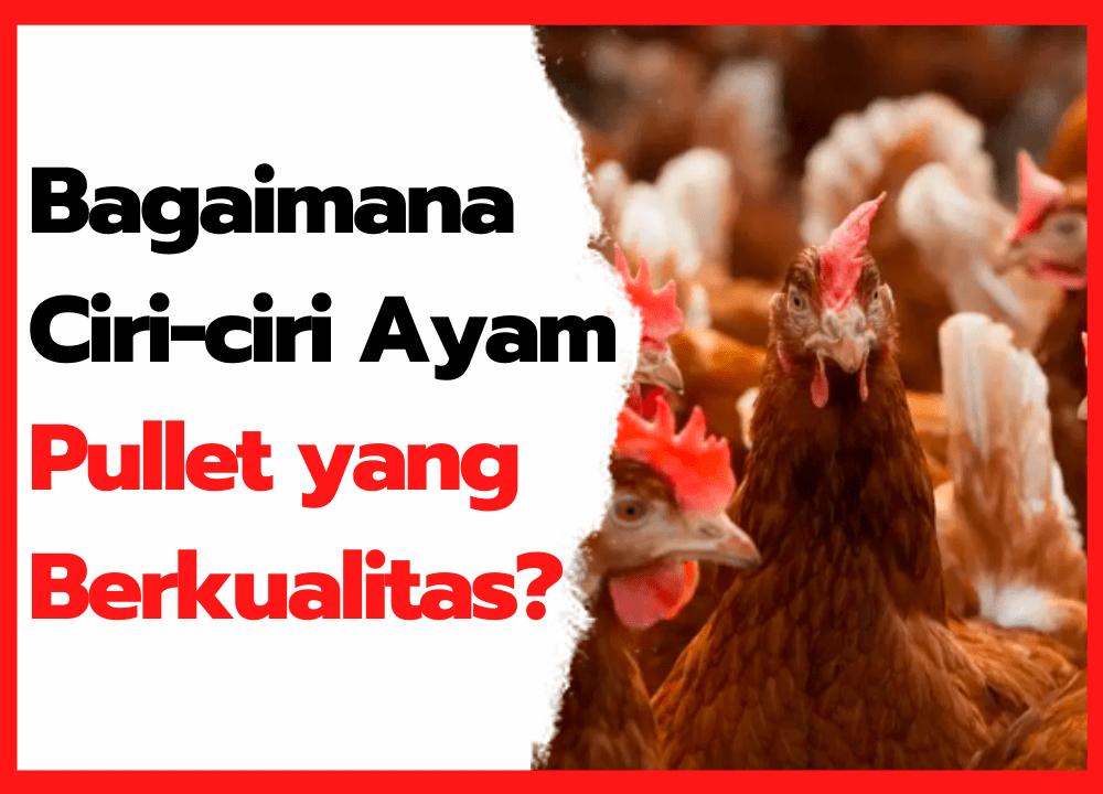 Bagaimana Ciri-ciri Ayam Pullet yang Berkualitas ? | cover