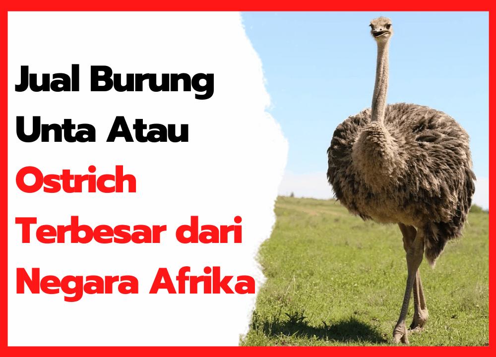 Jual Burung Unta Atau Ostrich Terbesar dari Negara Afrika | thumbnail