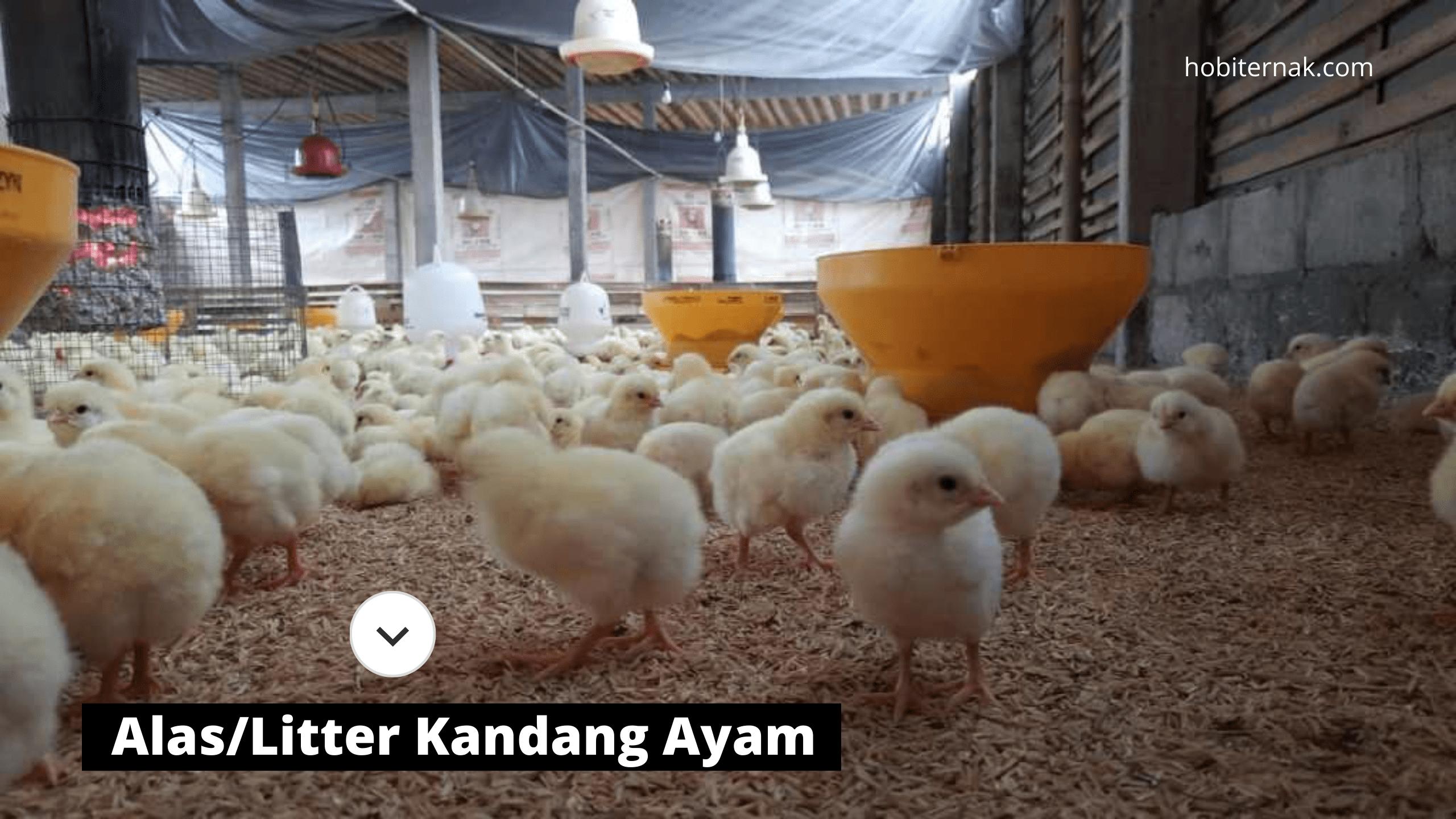 Litter atau alas kandang ayam sangat penting bagi keberhasilan ternak ayam   image 1