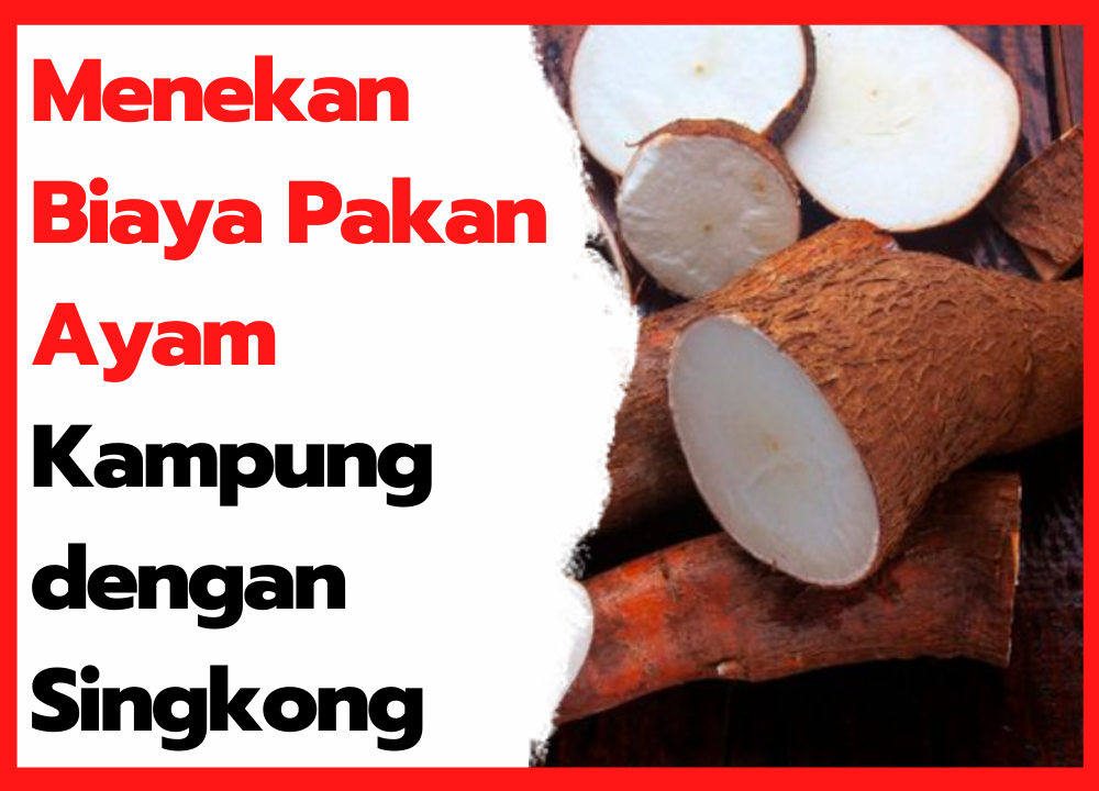 Menekan Biaya Pakan Ayam Kampung dengan Singkong | cover