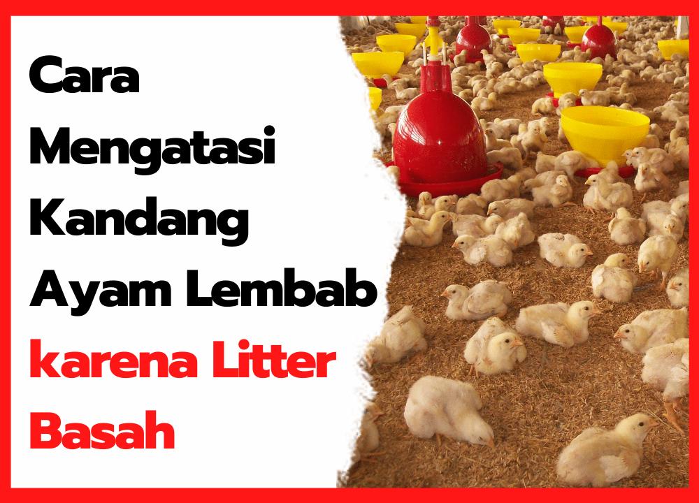 Mengatasi Kandang Ayam Lembab yang di Sebabkan oleh Litter Basah | thumbnail