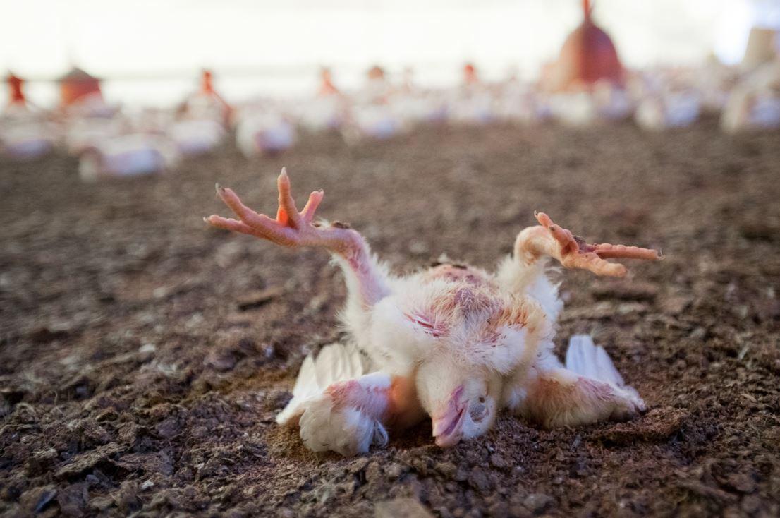 Jika DOC ayam terinfeksi virus penyakit tersebut maka sistem kekebalan tubuh akan menurun, anak ayam menjadi demam, lemas, tidak nafsu makan dan minum. | weanimalsmedia.org