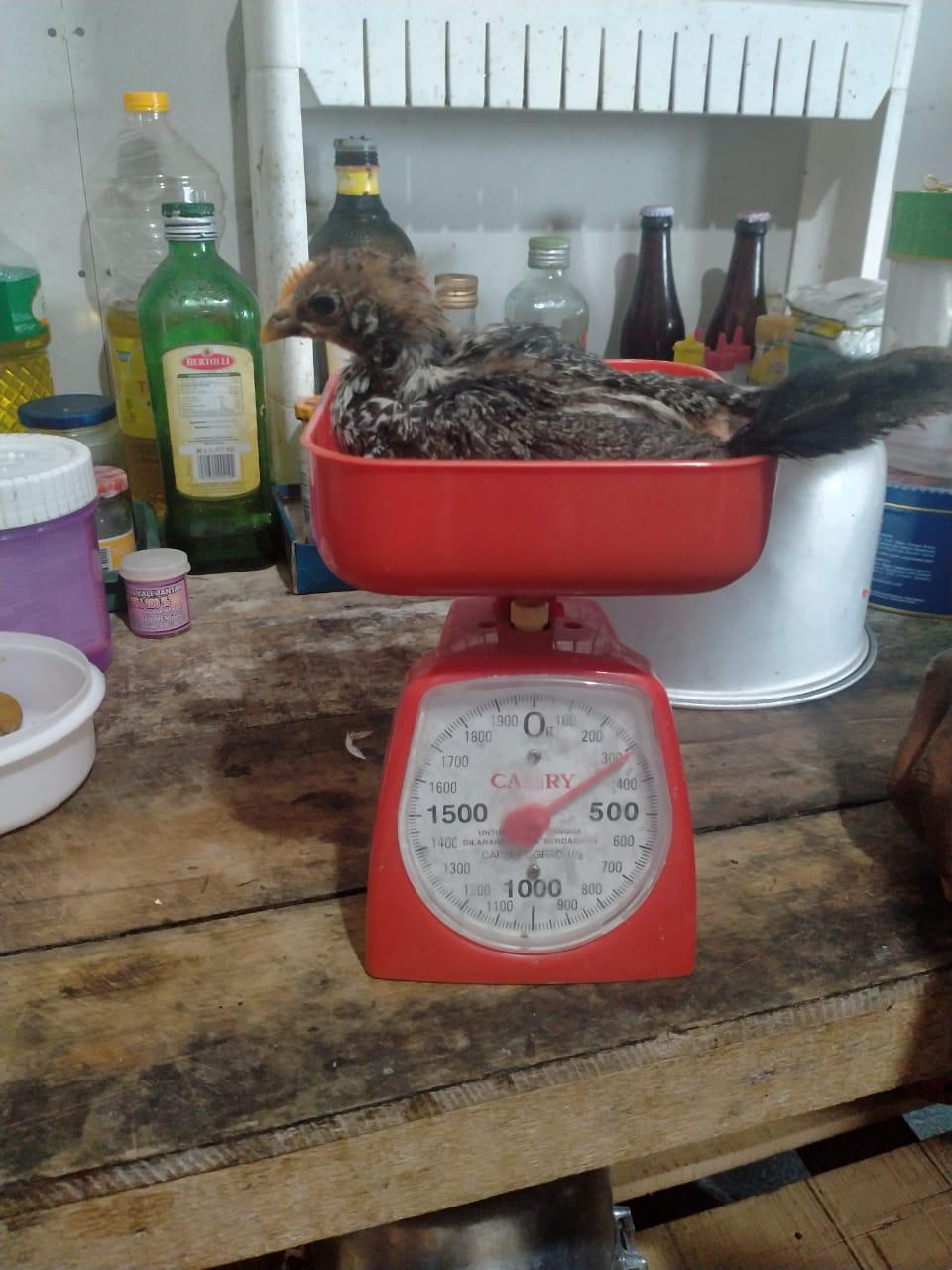 Pemberian ransum pakan yang sesuai dapat membantu pencapaian bobot ayam yang sesuai target.