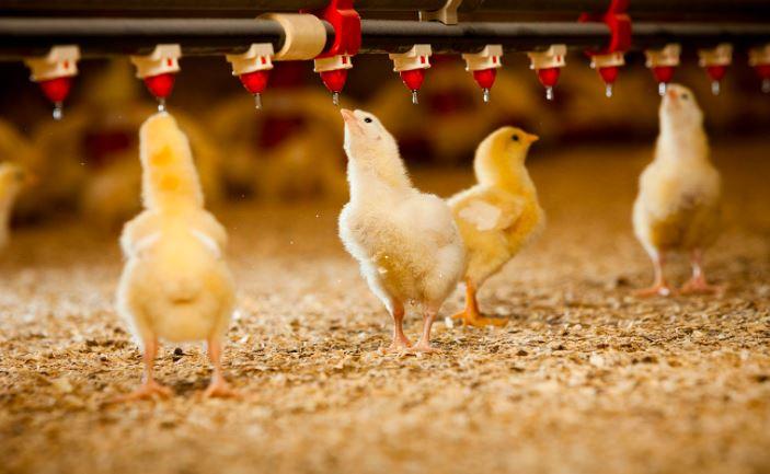 Air minum juga tidak boleh dilupakan. Agar ayam tetap sehat maka pastikan tempat minum tidak pernah kosong dan air minum diberikan vitamin untuk ayam. | Image 4