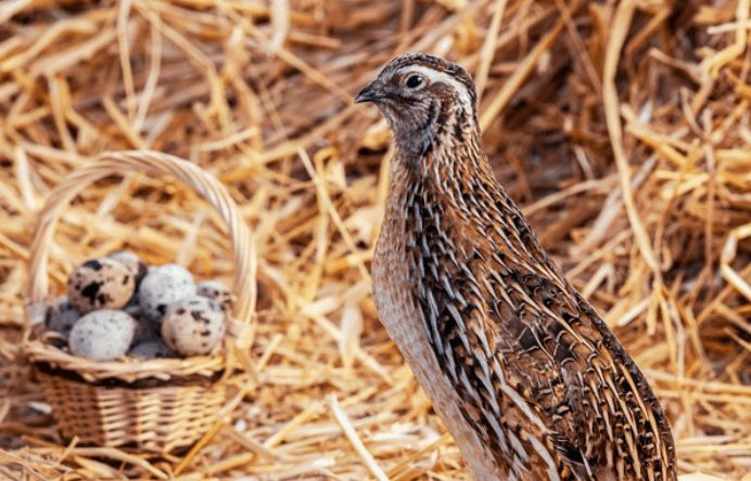 Burung puyuh terkenal akan produktivitas telurnya yang tinggi | popbela.com