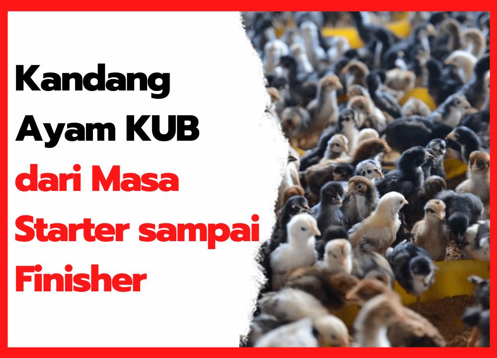 Kandang Ayam KUB dari Masa Starter sampai Finisher | thumbnail