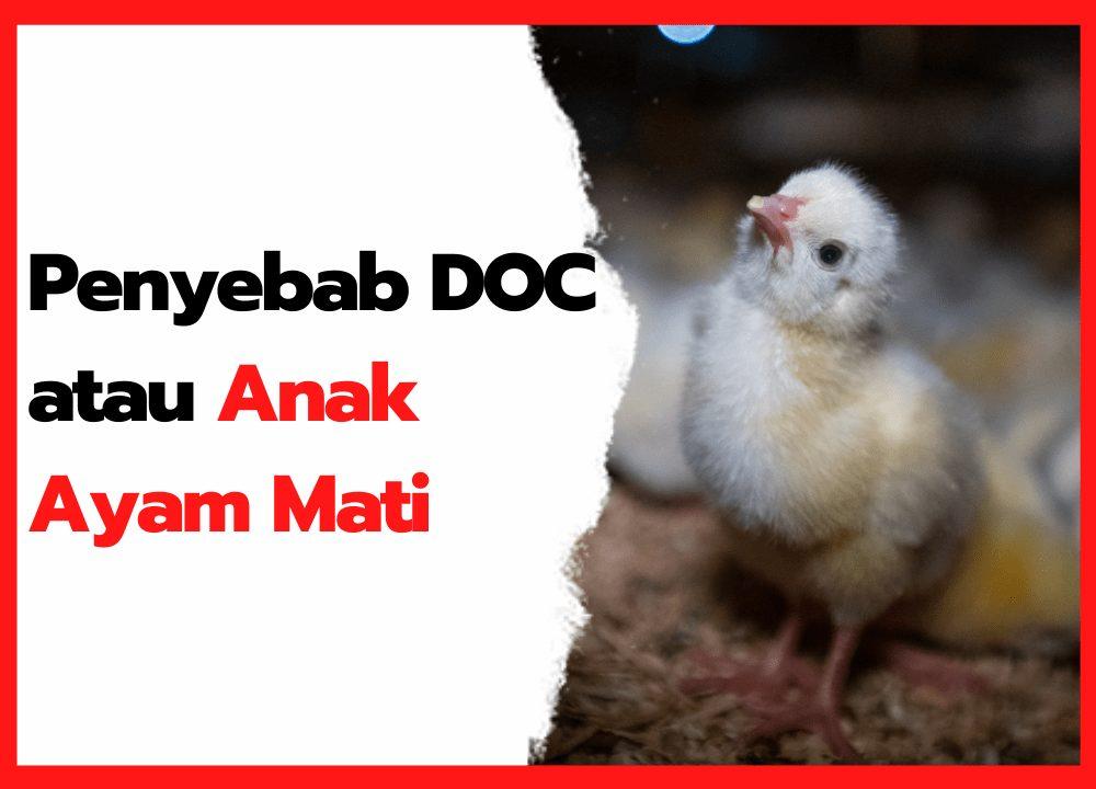 Penyebab DOC atau Anak Ayam Mati | cover