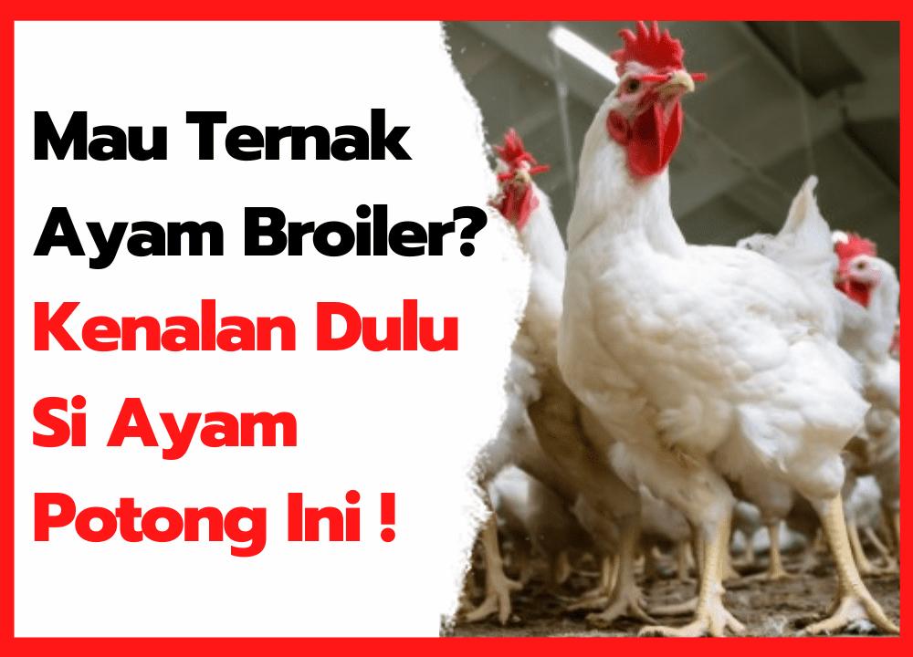 Usia 35 Hari Ayam Broiler Sudah Bisa di Panen | thumbnail