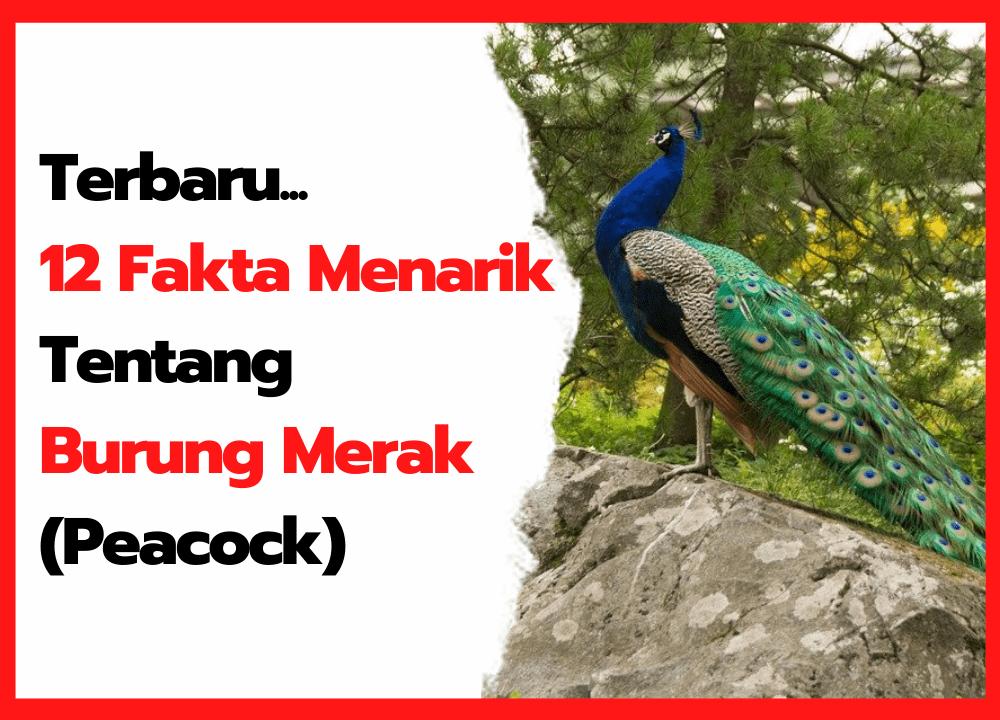 12 Fakta Menarik Tentang Burung Merak   Cover