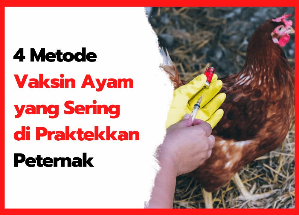 4 Metode Vaksin Ayam yang Sering di Praktekkan Peternak   cover