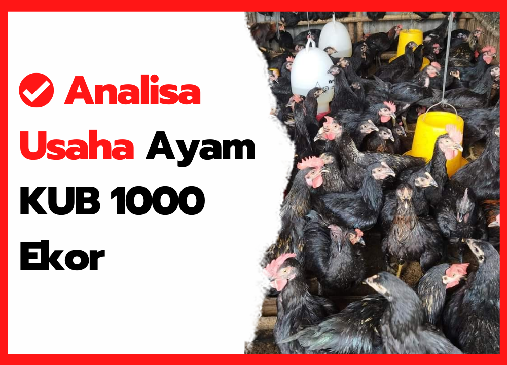 Analisa Usaha Ayam KUB 1000 Ekor   cover