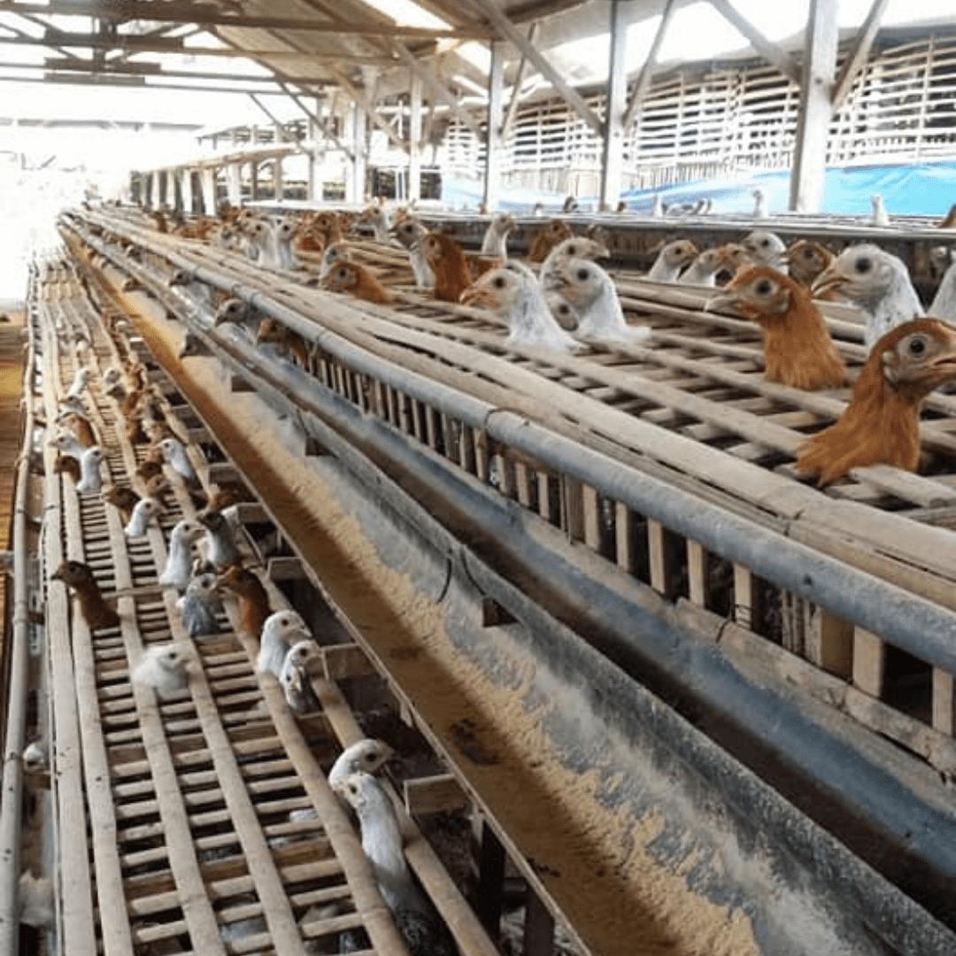 Ayam Arab akan mulai memproduksi telur ketika menginjak usia 4,5 bulan | image 3