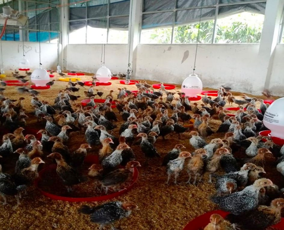 Salah sat upaya peternak agar Ayam Arab selalu dalam keadaan sehat - sehat yakni dengan memberikan vaksin, pakan yang berkulitas, air minum yang bersih, pemberian vitamin dan selalu menjaga kebersihan kandang | image 7