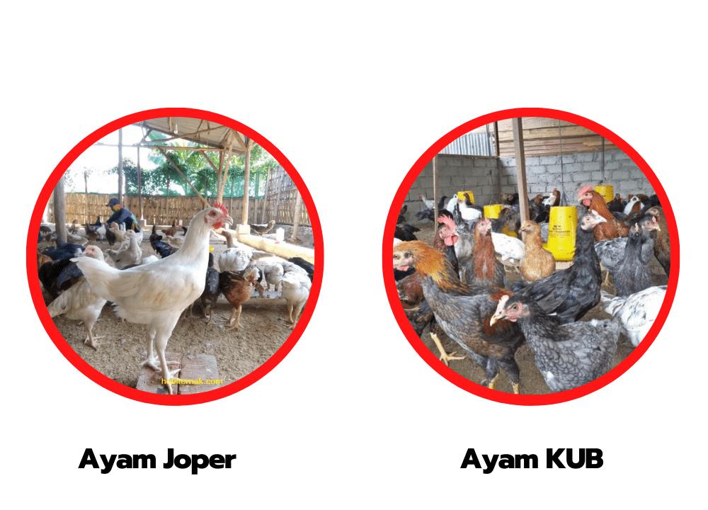 Ayam JOPER dan Ayam KUB memiliki manfaat yang berbeda - beda. Tentukan pilihan Anda sekarang juga   image 8