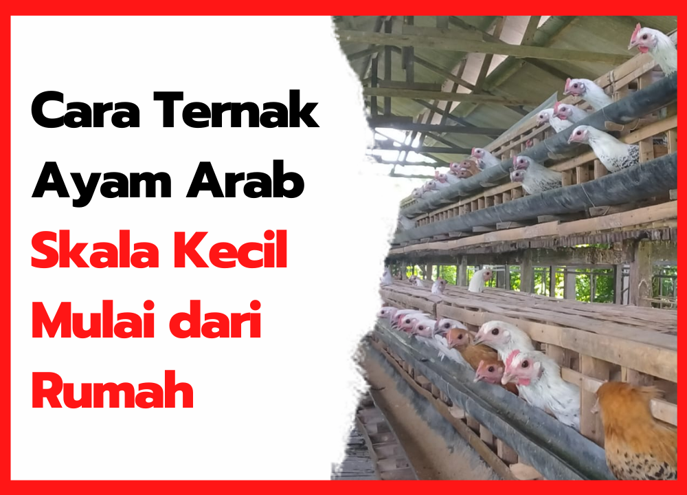 Cara Ternak Ayam Arab Skala Kecil Mulai dari Rumah   thumbnail