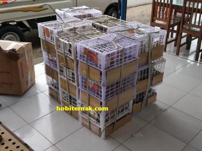 Selain menggunakan keranjang bambu, hobiternak.com juga menggunakan keranjang buah untuk mengirimkan pesanan ayam arab | Image 7