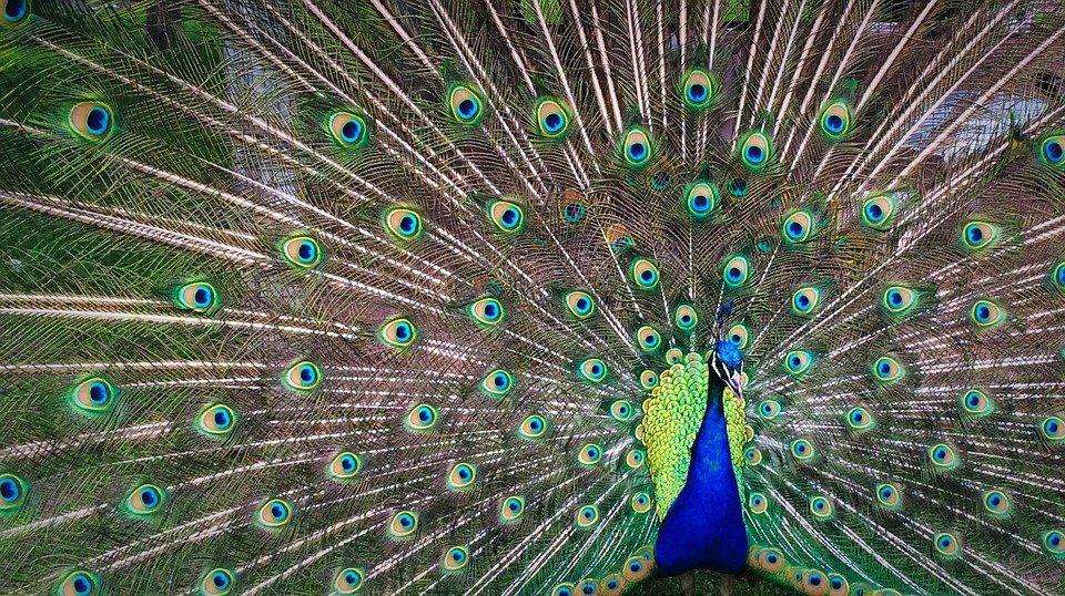 Burung merak sebagai salah satu jenis burung eksotis ternyata menyimpan berbagai fakta menarik dibalik keindahan ekornya. | Image 1