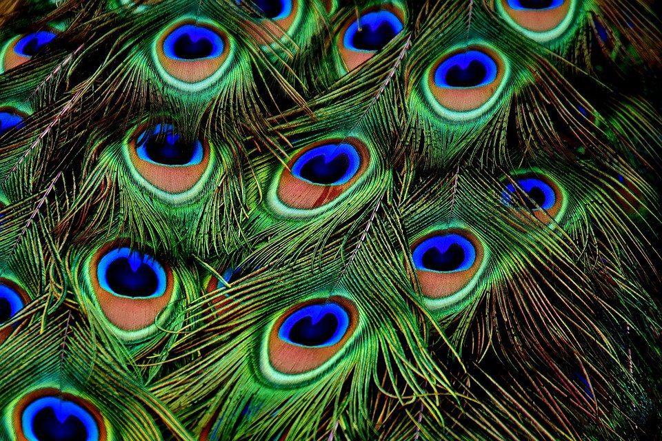 Saat terkena cahaya matahari, bulu burung merak akan terlihat seperti berkilauan karena terdapat kristal mikroskopik. | Image 5
