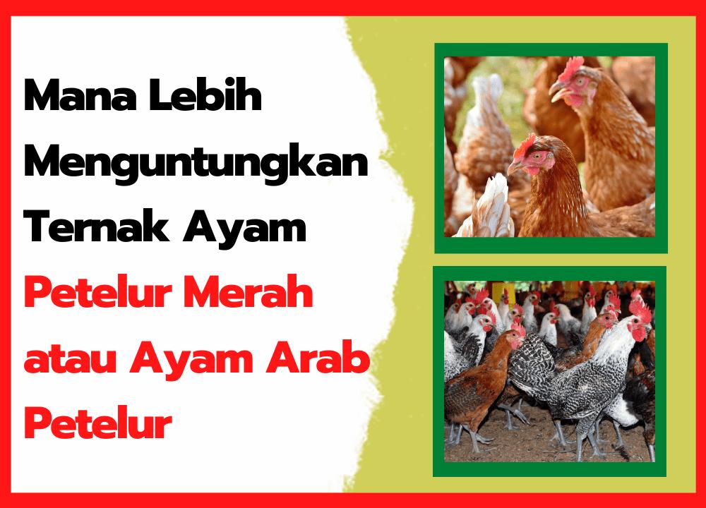 Mana Lebih Menguntungkan Ternak Ayam Petelur Merah atau Ayam Arab Petelur   thumbnail