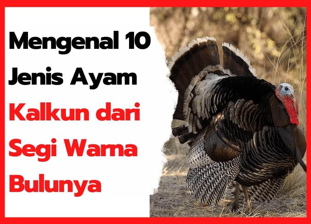 10 Jenis Ayam Kalkun Paling Terkenal