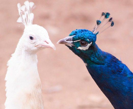 Cantiknya burung merak membuat banyak orang ingin memeliharanya dirumah. | Image 9